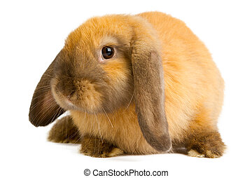 orange rabbit - Baby of orange rabbit isolated on white...