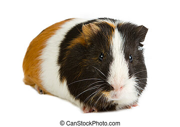 Guinea pig little pet rodent guinea pig isolated on white...