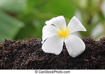 White frangipani on ground. - White frangipani on ground in...