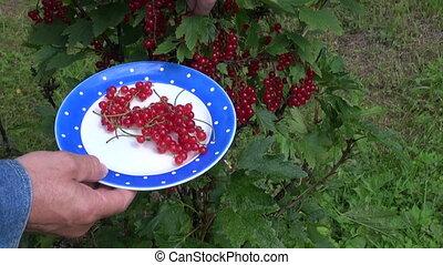 gardener hands picking redcurrant