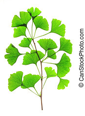 Ginkgo biloba - Branch with fresh green leaves in the spring...