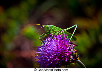katydid - Green grasshopper sits on a purple flower