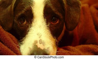 Cute Dog with Sad Eyes. Close up. - Cute Dog with Sad Eyes...