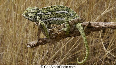 male and female common chameleon, dry grassland background.