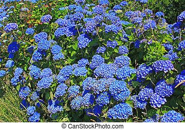 Hortensia (Hydrangea) - flowering Hortensia (Hydrangea) in...