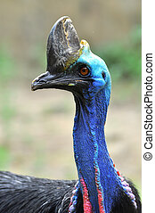 Cassowary birds are usually very shy and caution alone.