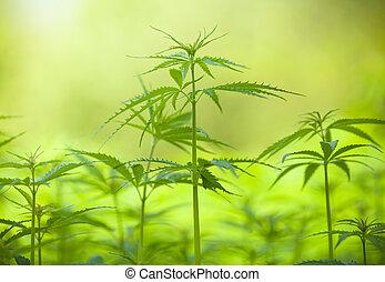 Marihuana, plantas, macro, foto, bajo, profundidad, foco