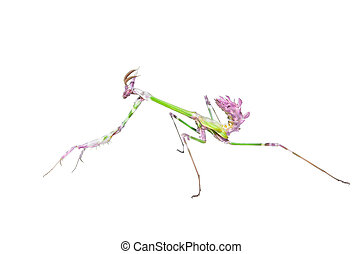 Mantis raptor with long spiked forelegs in attack pose...