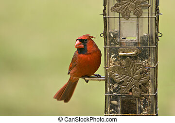 Male Cardinal on Feeder - Beautiful Male Northern Cardinal...