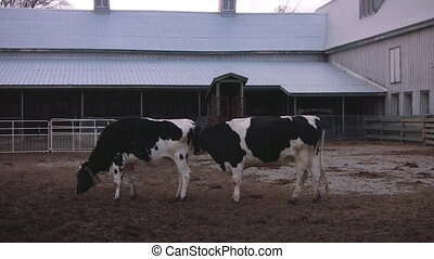 Cows invading each others space - Two cows in a large pen,...
