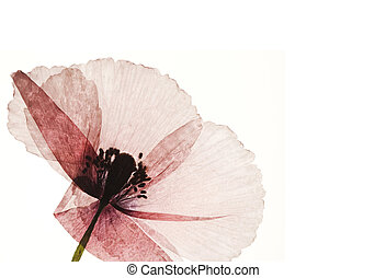 pressed poppy flower isolated on white