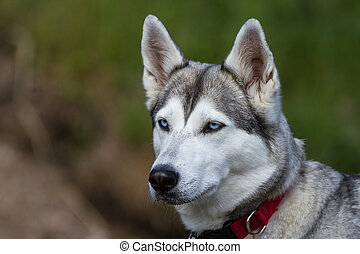 Siberian Husky - A husky with blue eyes and a red collar...