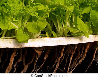 hydroponic salad vegetable