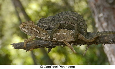 chameleons mating in the forest
