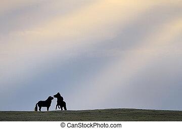 Two icelandic horses quarreling at sunset.