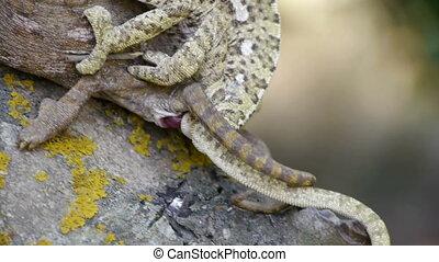 chameleons mating. - chameleons mating on the branch, where...