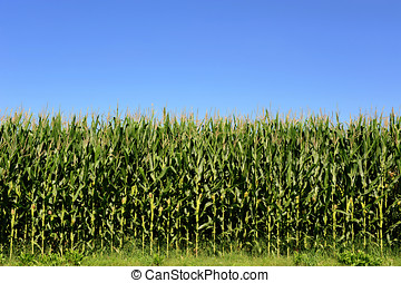 Agricultural field of corn plants, Zea Mays - Agricultural...