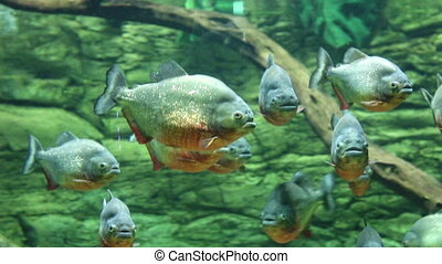 flock of piranhas fish underwater