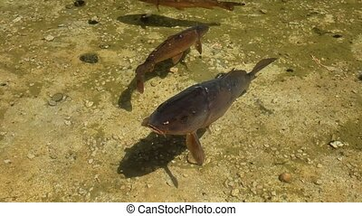Curious Carp In The Pond