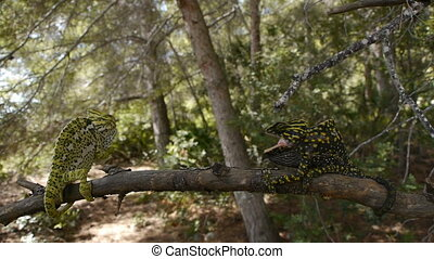 common chameleon male and female, in the pine forest, the...