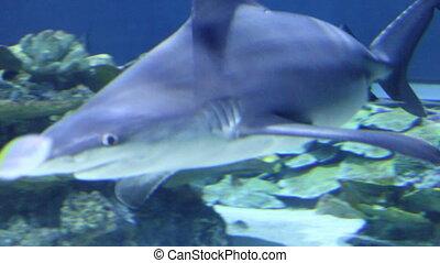 shark swimming underwater close up