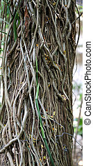 vines on tree - interesting unusual vines on a tree in the...