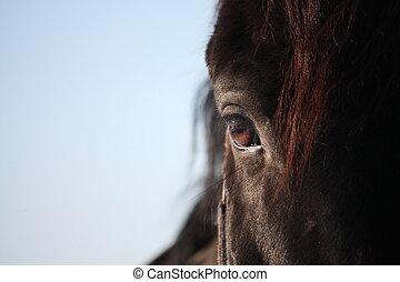 Black horse eye close up - Beautiful black stallion horse...