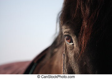 Black horse eye close up - Beautiful black stallion horse...