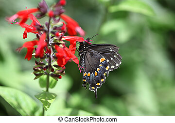 Black Swallowtail Butterfly - Black swallowtail butterly...