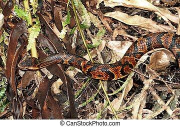 Cottonmouth Snake (Agkistrodon piscivorus) a.k.a. Water...