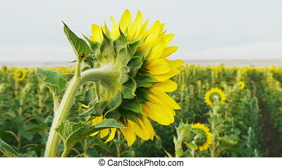 Back view of a bright fresh sunflower with a ladybug on a...