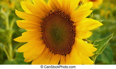 Bright fresh sunflower with water drops in the center of flower, DoF