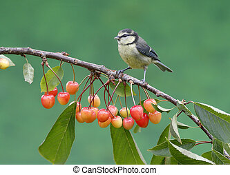 Blue tit, Parus caeruleus, single bird on cherries,...