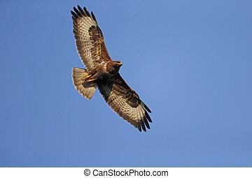 Common buzzard, Buteo buteo, single bird in flight,...