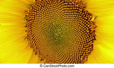 Close up of a bright fresh sunflower with water drops in the center of flower, DoF