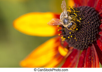 Close-up photo of a Western Honey Bee gathering nectar and...