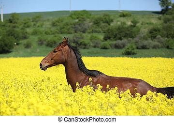 Beautifull brown horse running in yellow flowers - Amazing...