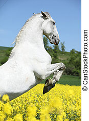 Amazing white lipizzaner prancing in spring - Amazing white...