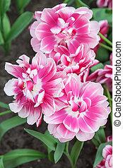 Pink Tulips in Keukenhof Garden, Lisse, Netherlands - Pink...