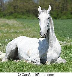 White lying horse - White horse lying on green grass in...