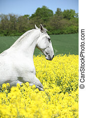 White lipizzaner in colza field in spring