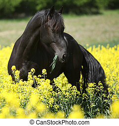 Gorgeous black friesian horse in colza field - Gorgeous...