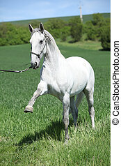 White lipizzaner showing itself on pasturage