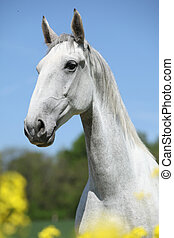 Gorgeous white lipizzaner with yellow flowers in spring