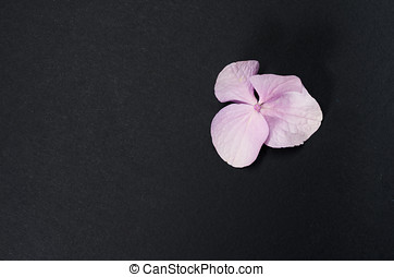 hydrangea hortensis petals close up, black paper background