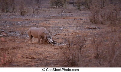 Rhino and trunk - View of Rhino rubbing horn at night