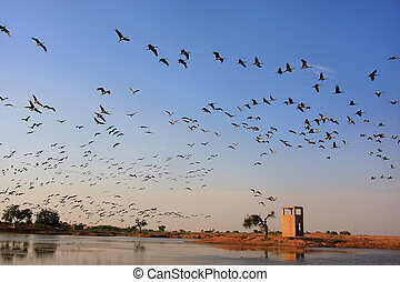 Flock of demoiselle crains flying in blue sky, Khichan...