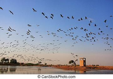 Multitud, Demoiselle, crains, vuelo, azul, cielo, Khichan,...