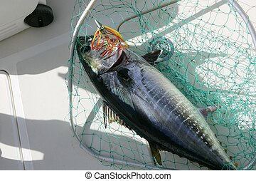 Blue fin tuna Mediterranean fishing and release