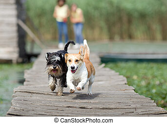 Dogs running - Two adorable dogs running on wooden dock